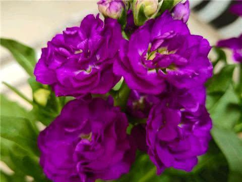 紫罗兰养护技巧,四季都开花,花繁叶绿开爆盆