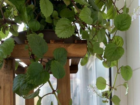 客厅放盆常春藤,就这么随便的一样,空气清新无味!