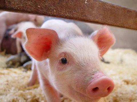 大手笔!500亿元支持生猪生产,农村的散养户有份吗?
