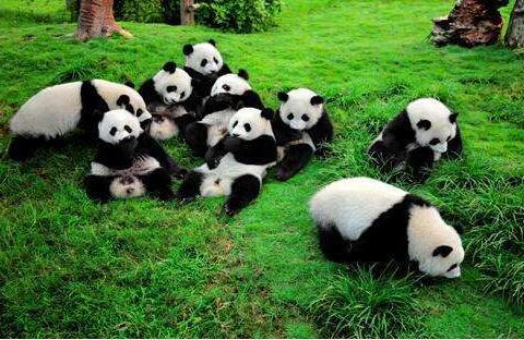 她83年前从四川窃走两只熊猫,过海关登记的是:形状奇异的哈巴狗