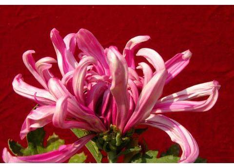 """喜欢玫瑰,不如养盆""""珍稀名菊""""大如意,似玉女飞舞,妖娆窈窕"""