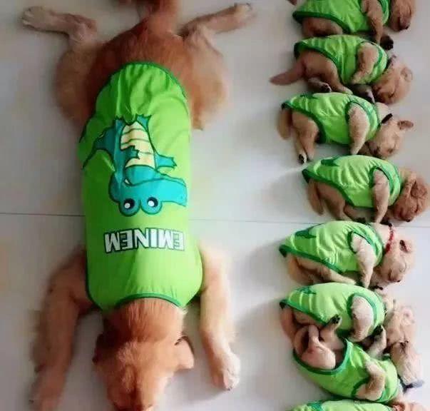 金毛带着宝宝们一块睡觉,结果看一眼这货的睡姿后,笑喷了!