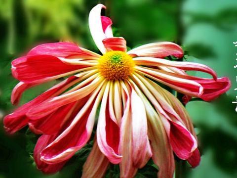 """喜欢玫瑰,不如养盆""""菊中珍品""""圣光宝船,似粉嫩宽船,美丽淡雅"""