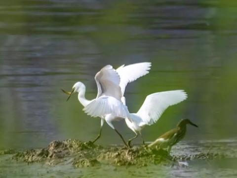 揭阳榕江边有成群白鹭驻扎,为越来越好的环境质量点赞