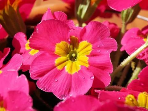樱草花盆栽开完花就丢,那就太可惜了,秋天还能重新开花,花特大
