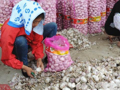 冷库蒜价格大涨,而实际行情并不乐观,为啥农民种植热情反高?