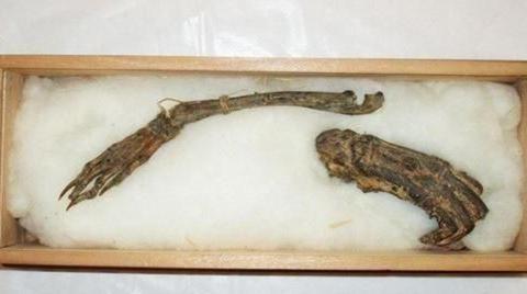 史上最奇异的生物!明明传说,日本寺庙中收藏河童和龙的标本