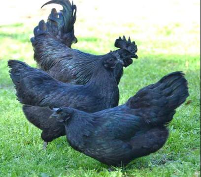 世上最贵的鸡16000一只,全身除了血都是黑的,下的蛋也是黑色!