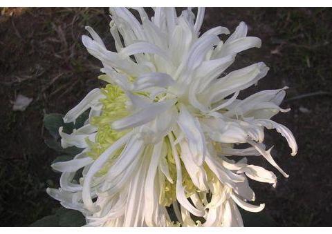 """喜欢养菊,不如""""优品名菊""""三面夏娃,花开如三菊相拥,奇美高贵"""