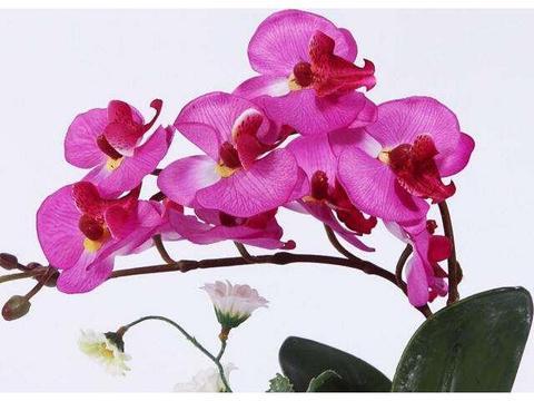 养花就养养殖蝴蝶兰,花红叶绿枝繁叶茂,邻居见了十分的羡慕!