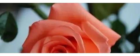 """喜欢菊花,不如养盆""""高档玫瑰""""?果汁阳台,富贵满堂!绚丽夺目"""