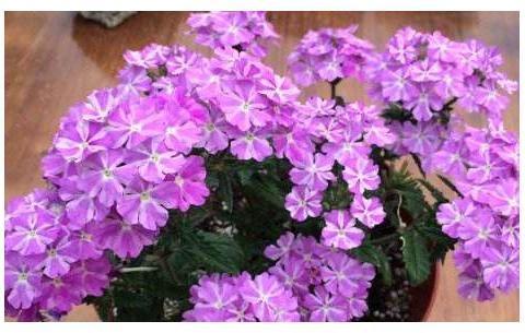 """喜欢菊花,不如试试""""假菊花"""",花开鲜艳美丽,比菊花美"""
