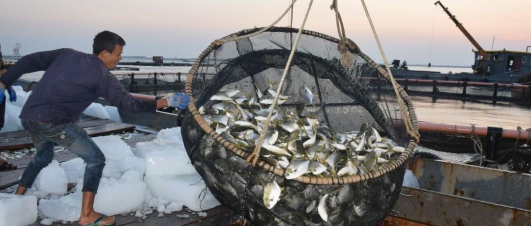舌尖上的美味!铁山港区深水网箱养殖金鲳鱼肥美上市啦!