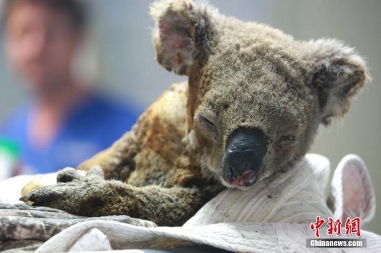 """探访世界上唯一的考拉医院:澳大利亚""""国宝""""的守护者"""