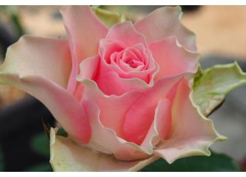 """喜欢菊花,不如养盆""""高档玫瑰""""天使之吻,复色甜美,清新美丽"""