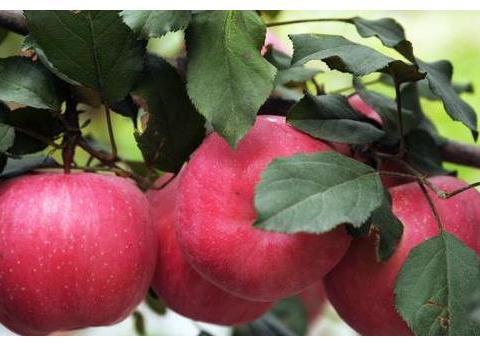 苹果套上袋,能好吃多少?套袋成本这么高,为什么果农还要套袋?