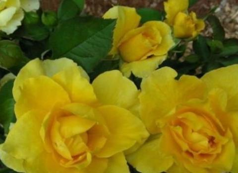 爱上养花,不如养盆点石成金,花姿优美金黄灿灿
