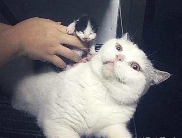 猫咪生了个独苗,要被卖掉,死死抱在怀里抵抗,多少钱也不卖