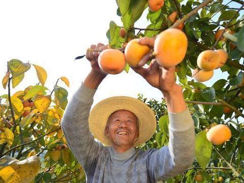 江西九江千亩柿子种植基地迎来大丰收,柿农、游客采摘忙!