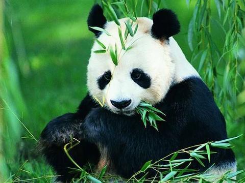 租借大熊猫费用太高怎么办?自己造!鳄鱼版熊猫见过吗?