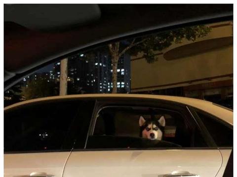 马路中央偶遇哈士奇,与网友深情对望,哈士奇:我两是不是见过?