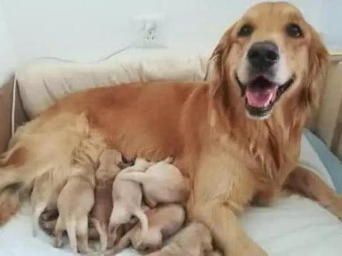 金毛被占便宜怀孕,铲屎官气得牙痒痒,看到生下的狗宝却笑翻
