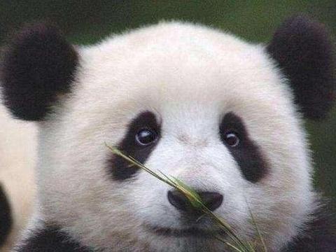 法国一家人气惨淡的动物园,但却被一只中国熊猫,创下人气最高峰