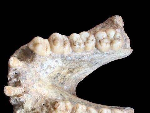 跨越193万年,躲藏在巨猿化石中的蛋白质证据被找到了