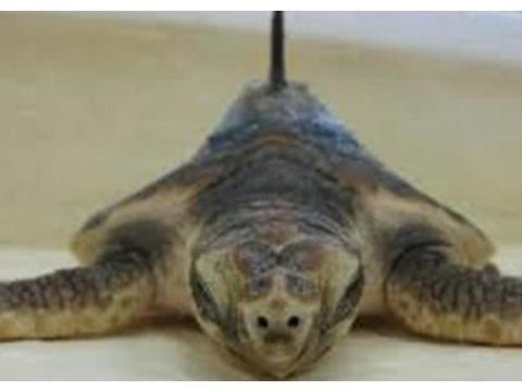 科学家解剖乌龟,它的内部构造让人眼前一亮,网友:长知识了