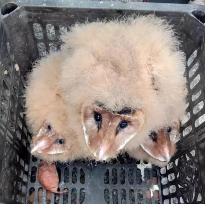 """新余一村民捡到几只""""怪鸟"""" 既像猴子又像鹰(图)"""