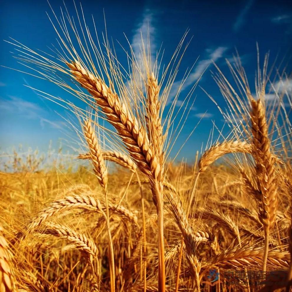 11月27日、29日国家政策性粮食竞价销售交易公告