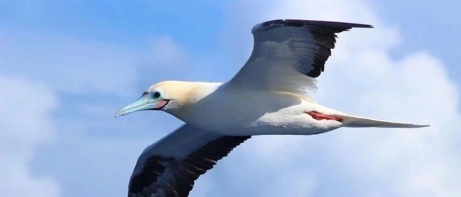 物种图册-红脚鲣鸟