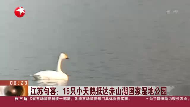 江苏句容:15只小天鹅抵达赤山湖国家湿地公园