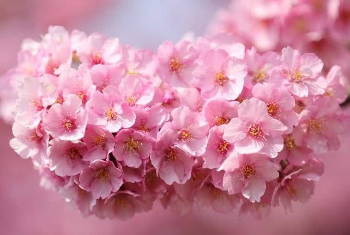 心理学:哪一张图的樱花开的最美,测你是不是崇尚简单的人?