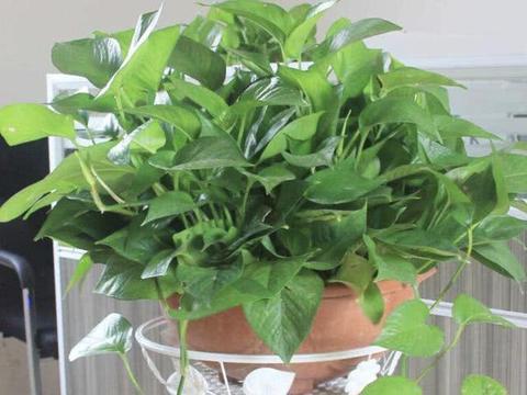 10月底做到4点,家里的常春藤、绿萝爆盆,枝条100厘米长!