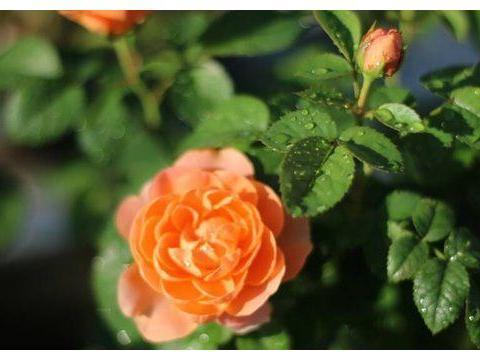 """爱上养花,首选这款""""精品玫瑰""""果汁阳台,爆成花海,花姿卓越"""