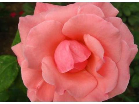 """喜欢菊花,不如养盆""""玫瑰精品""""安吉拉,开花喜庆,花量超大"""