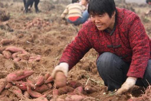 拉着刚刨的红薯却不敢回村?咋回事?很多农民都遇到过