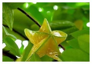 怎么才能种出高产杨桃?冬春杨桃管理技术要素,高产并不难