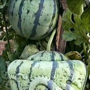 瓜农种的西瓜总是卖不出,儿子突然想了一个策略, 令人竖大拇指