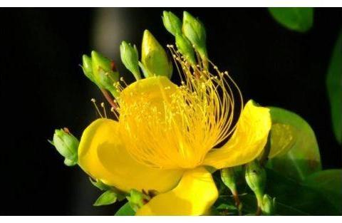 """喜欢玫瑰,不如养盆""""珍品名菊""""绿窗纱影,似长发少女,纱影朦胧"""