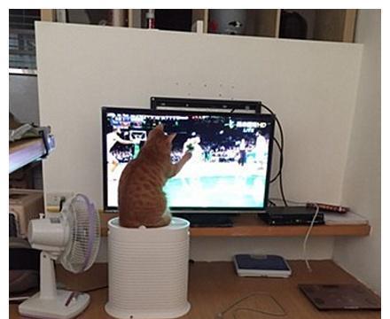 这真的是橘猫吗?不仅爱看篮球赛,还背起球袋想和主人出门打球去