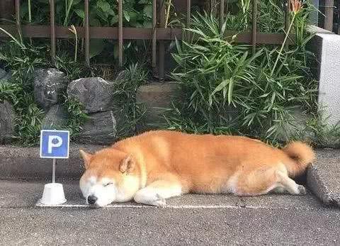 柴犬在公共区域睡着了,主子怕违章画了个停车位,一画还画了两格