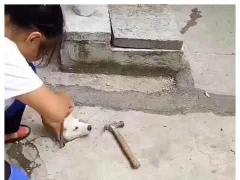 小狗头卡在下水道里,好心人砸地救狗,网友:这是地里长狗了啊!