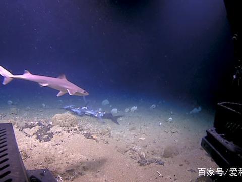 深海鲨鱼被大鱼直接吞食,几乎没有反抗,被拍下视频