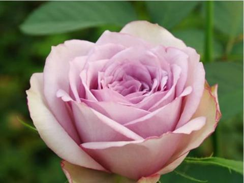 """喜欢菊花,不如养盆""""珍品月季""""安吉拉,闭月羞花,花花世界"""