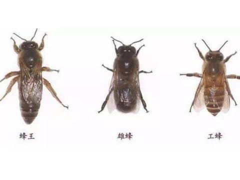 蜜蜂生长个体越大时间越长,蜂王为何会发生逆转?养蜂人这样看