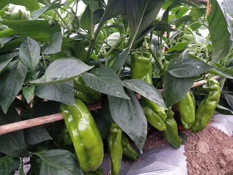 种植辣椒要想高产,可以适当用点它!一棵就能结一大堆