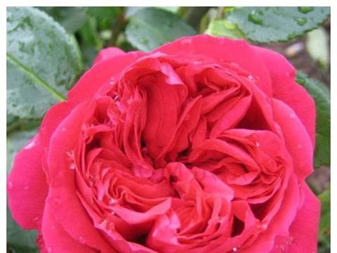 """喜欢月季,不如养盆""""玫瑰精品""""安吉拉,花朵娇小,艳丽迷人"""