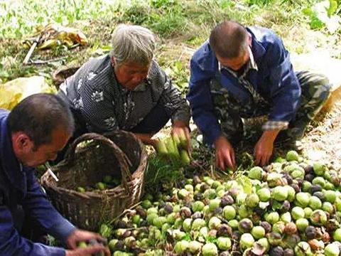 天气变冷,收购商还是没来,1万吨果实堆积在家,村民无语哽咽